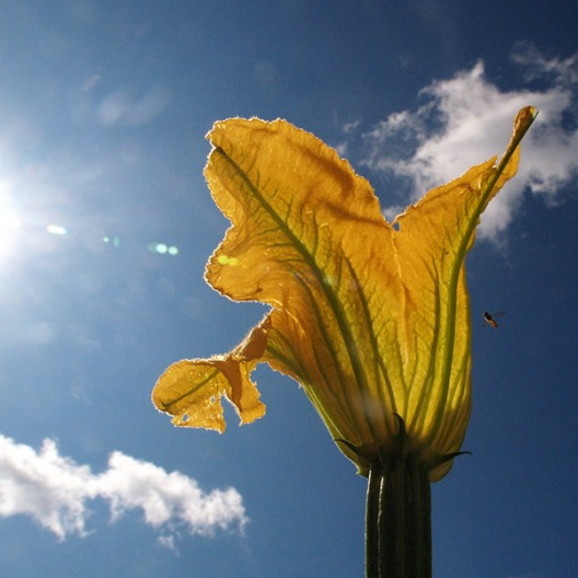 Courgette_Flower