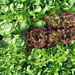 Lettuce_bed