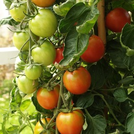 Tomato_truss