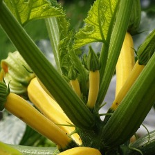 Yellow_Courgette