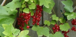 Red_Current_Fruit