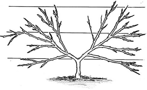 Fan trained fruit tree form
