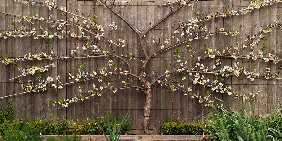A mature fan-trained plum tree