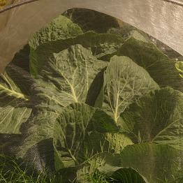 Netted Romanesco broccoli