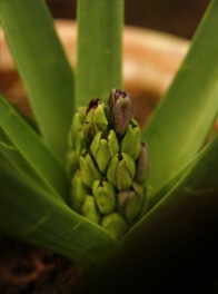 Greenhouse_spring_bulbs_hyacinth