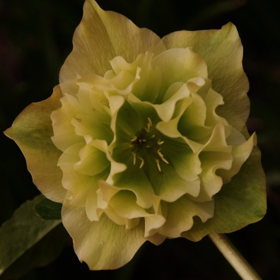 Lenten Rose - double