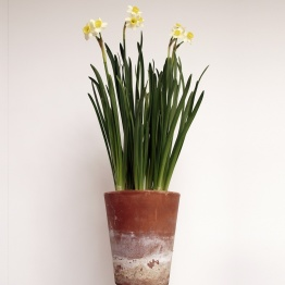 Narcissus tazetta 'Minnow' in aged terracotta pot