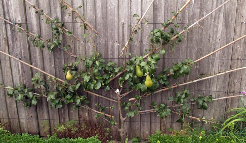 trained-pear-2016-pruned