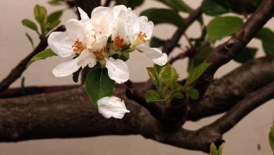 Fruit follow flowers on short side spurs