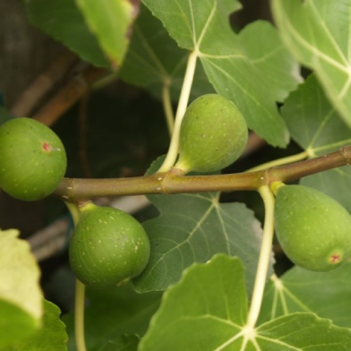 figs-close-up-2