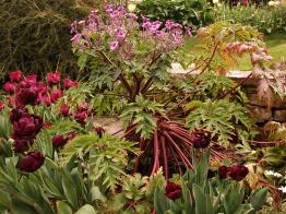 Madeira cranesbill (Geranium maderense) in pot - a tender, but magnificent, biennial