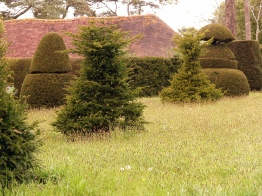 Topiary lawn - new yew trees being trained