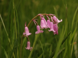 A pink bluebell - one of many naturalised bulbs seen in the meadow areas
