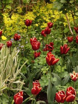 Tulips feature prominently as spring bedding