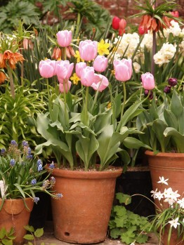 Pots of well grown bulbs and annuals - these are constantly replenished throughout the year - an enormous undertaking