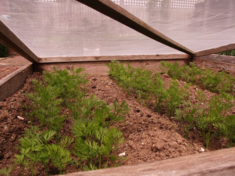 Covered carrot seedlings