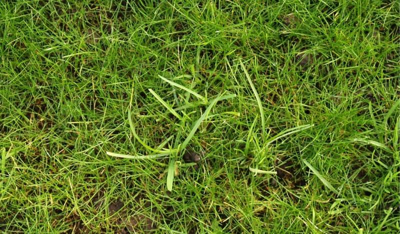 Lawn Nov -RyeGrassWeeds