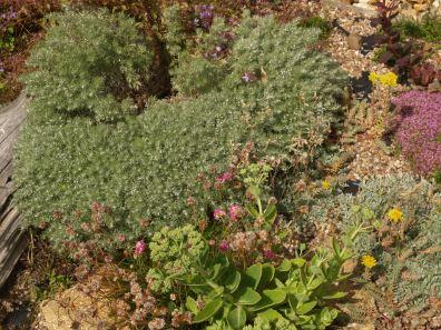 Artemisia schmidtiana