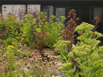 Large sedums manage in 60mm of soil