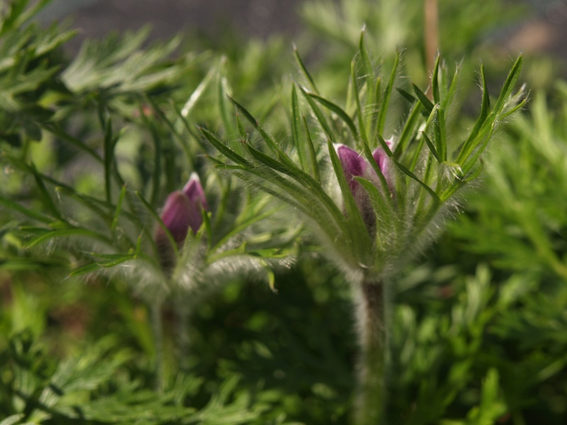 Purple pasque flowers unexpectedly emerge for a second flush in August