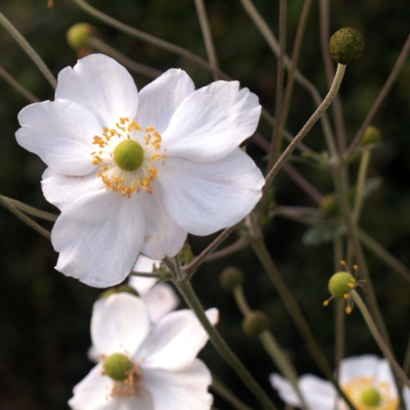 autumn-japanese-anemone