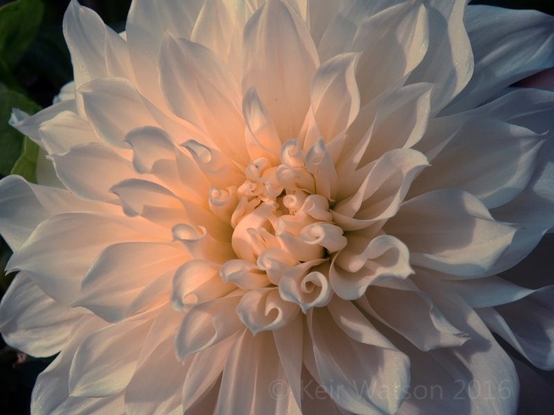 autumn-white-dahlia-featured