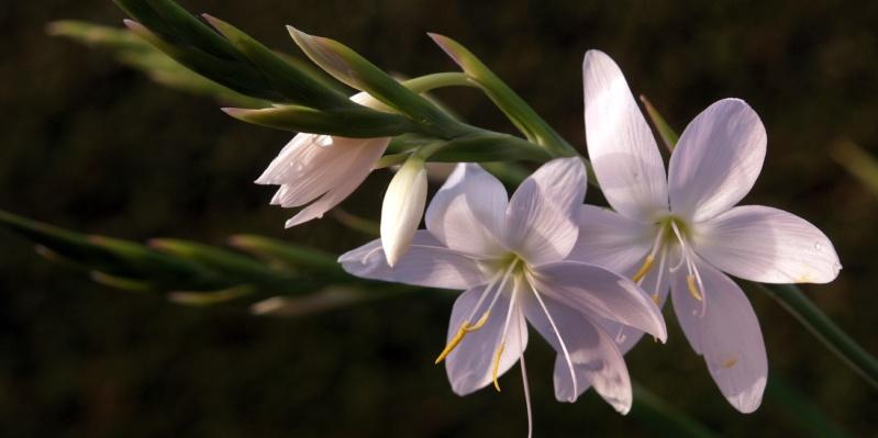 autumn-white-kaffir-lily