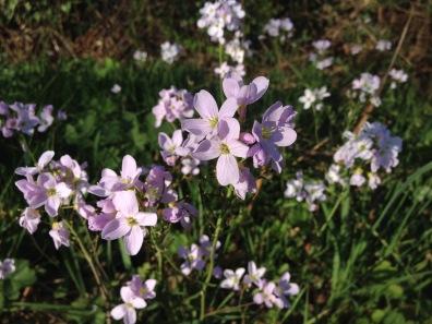 Cardamine pratense near Coleworth, West Sussex