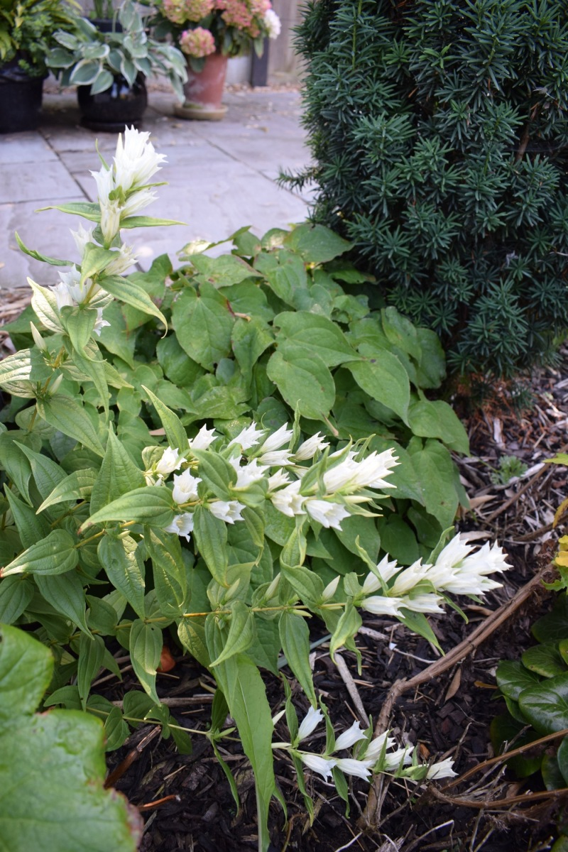 White Willow Gentian flowering stems