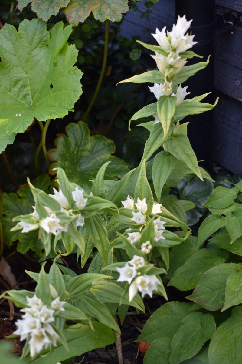 White Willow Gentian with other shade loving plants